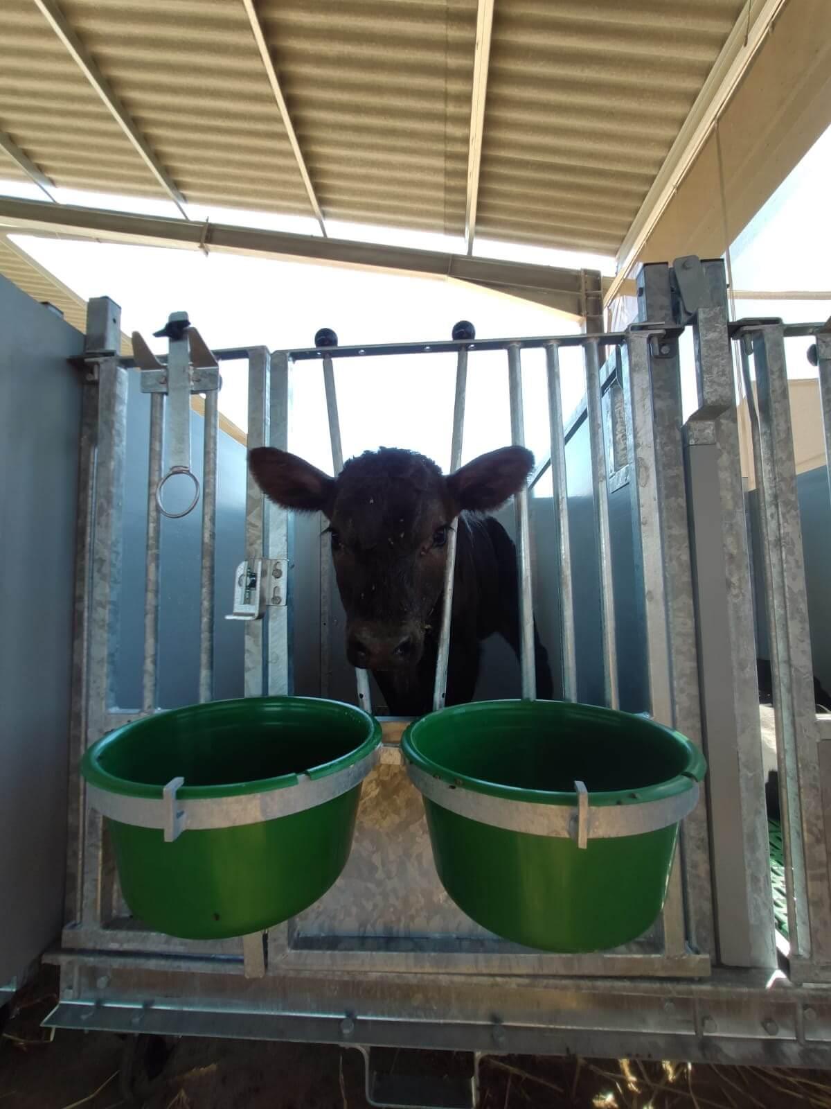 Calf in hutch